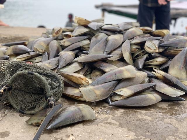 Mùa sò mai, chỉ đánh bắt gần ngư dân cũng kiếm tiền triệu mỗi ngày - 2