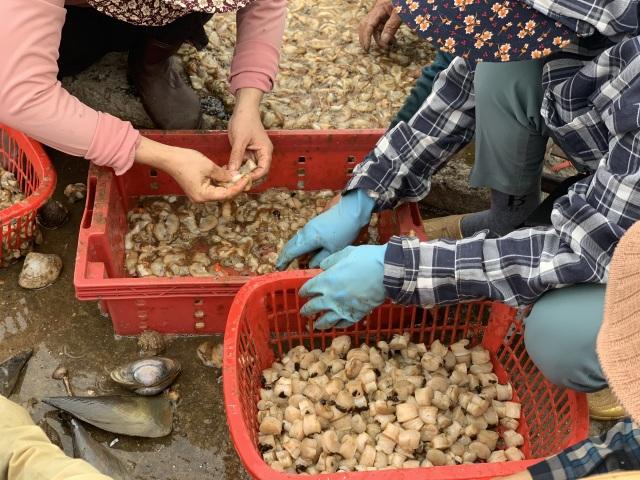 Mùa sò mai, chỉ đánh bắt gần ngư dân cũng kiếm tiền triệu mỗi ngày - 11