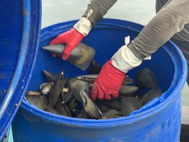 Mùa sò mai, chỉ đánh bắt gần ngư dân cũng kiếm tiền triệu mỗi ngày - 3