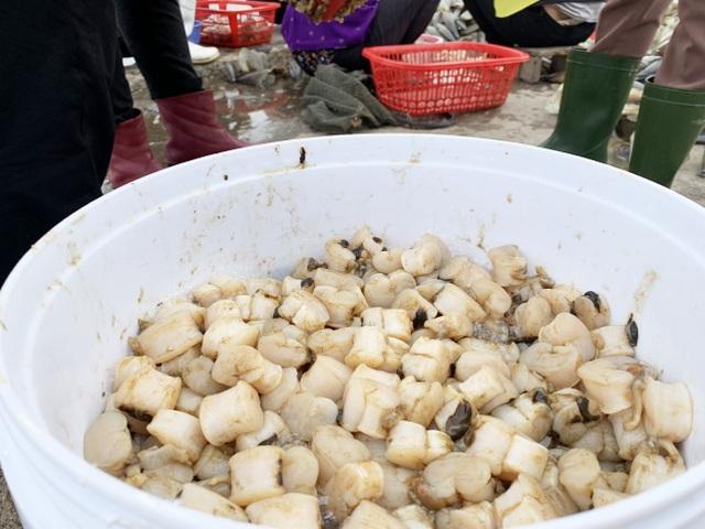 Mùa sò mai, chỉ đánh bắt gần ngư dân cũng kiếm tiền triệu mỗi ngày - 12