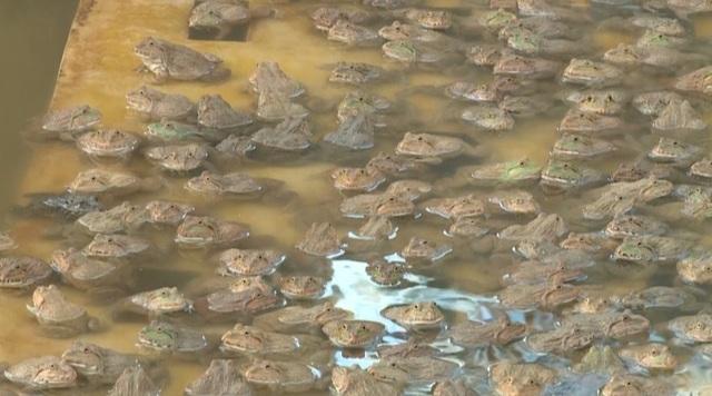 """Nuôi ếch """"một vốn bốn lời"""", dân chài thu hàng trăm triệu đồng mỗi năm - 4"""