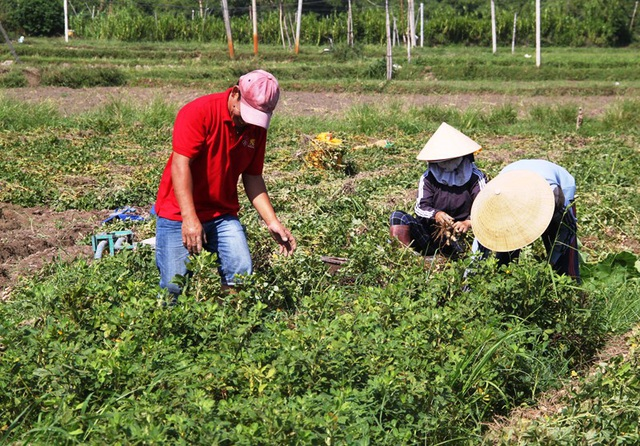 Nông dân thu về trên 6 triệu đồng/sào nhờ... làm bạn với cây đậu phộng - 2