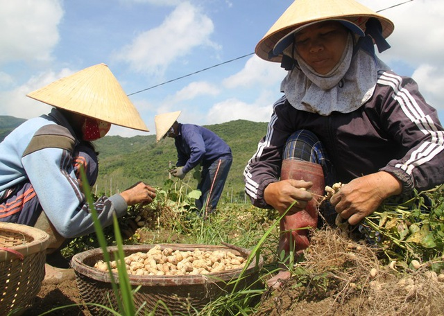 Nông dân thu về trên 6 triệu đồng/sào nhờ... làm bạn với cây đậu phộng - 3