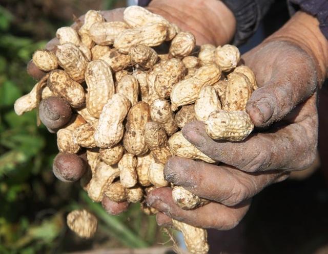 Nông dân thu về trên 6 triệu đồng/sào nhờ... làm bạn với cây đậu phộng - 4