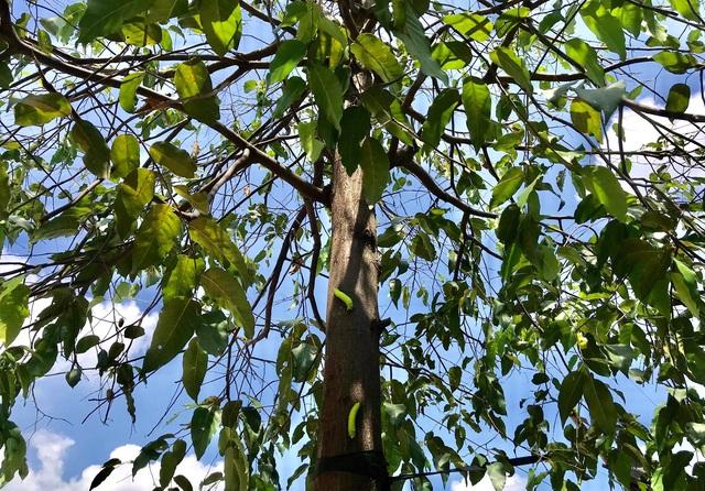 Hàng nghìn con sâu lạ ăn trụi lá cây bên đường - 1