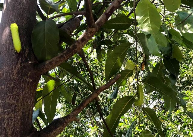 Hàng nghìn con sâu lạ ăn trụi lá cây bên đường - 3