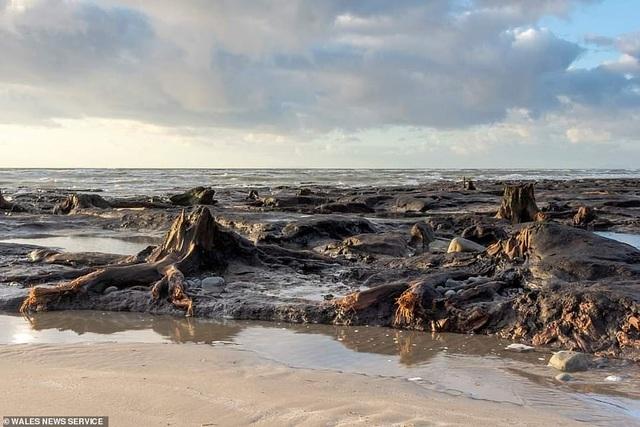 Cơn bão quét qua làm lộ khu rừng 4.500 năm tuổi bị chôn vùi dưới cát - 1