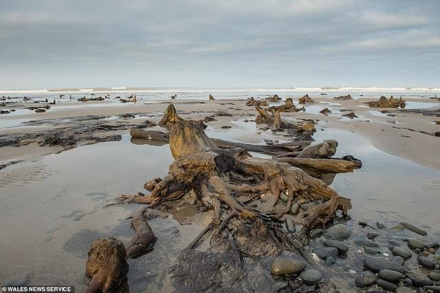 Cơn bão quét qua làm lộ khu rừng 4.500 năm tuổi bị chôn vùi dưới cát - 2