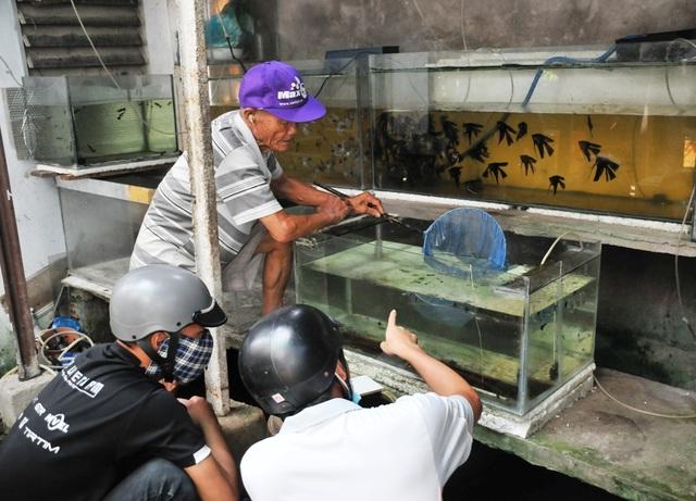 Cụ ông 83 tuổi gắn bó với nghề nuôi cá cảnh từ 6 cặp cá thia lia - 3