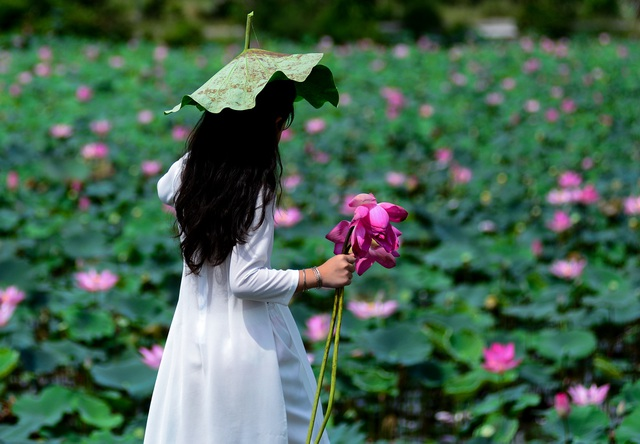 Du khách mê mẩn với đầm sen nở rực ở ngoại thành Sài Gòn - 10