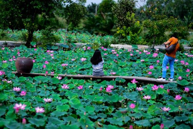 Du khách mê mẩn với đầm sen nở rực ở ngoại thành Sài Gòn - 2