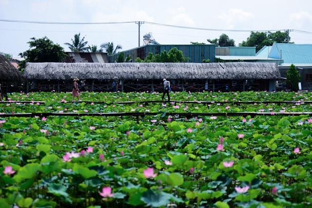 Du khách mê mẩn với đầm sen nở rực ở ngoại thành Sài Gòn - 1