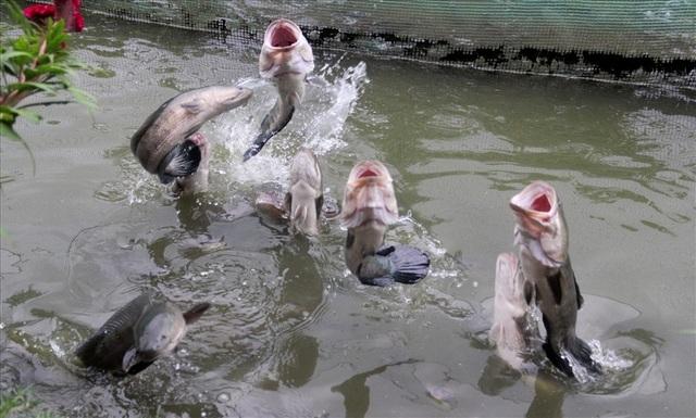 """Tận mắt xem cả ngàn con cá lóc tranh nhau... """"bú bình"""" - 10"""