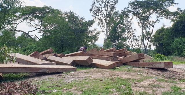Thêm thủ đoạn phá rừng tại Phú Yên: Dùng cả đàn trâu kéo gỗ đi tiêu thụ! - 1