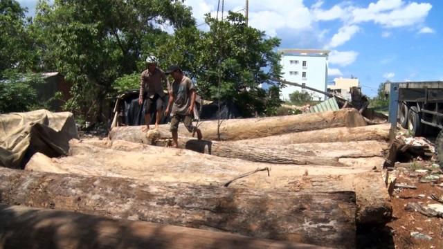 Thêm thủ đoạn phá rừng tại Phú Yên: Dùng cả đàn trâu kéo gỗ đi tiêu thụ! - 5