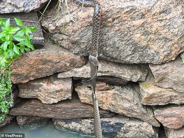 Cá trê lơ lửng trên không trong cuộc chiến giành bữa ăn của hai con rắn - 1