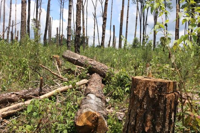 """Những cánh rừng """"chết"""" dọc quốc lộ - 9"""