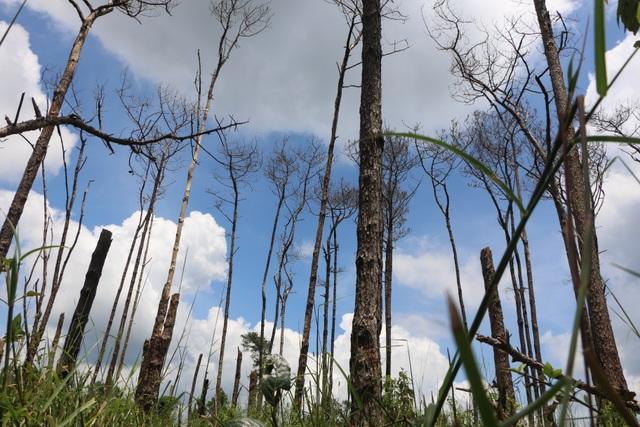 """Những cánh rừng """"chết"""" dọc quốc lộ - 5"""