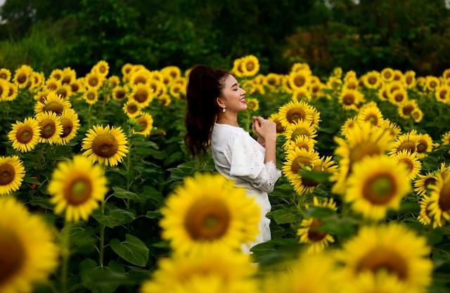 Vườn hoa hướng dương.jpg