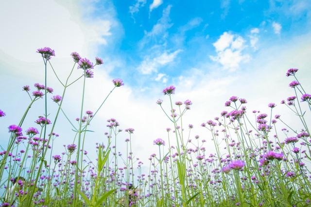 Hà Nội: Rủ nhau check-in với cánh đồng oải hương thảo đẹp như trời Tây - 7
