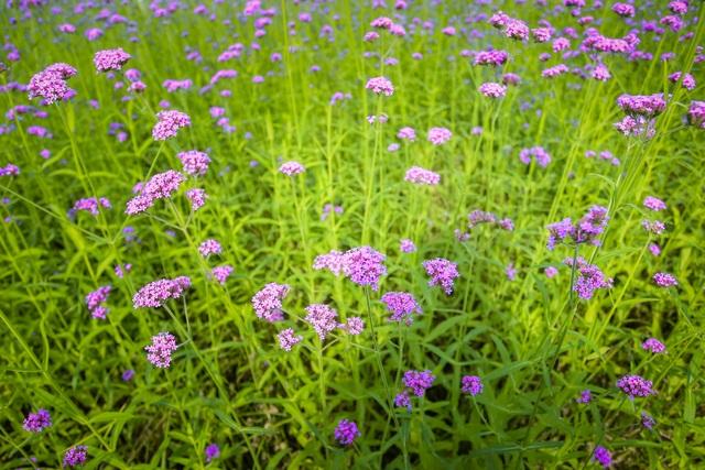 Hà Nội: Rủ nhau check-in với cánh đồng oải hương thảo đẹp như trời Tây - 1