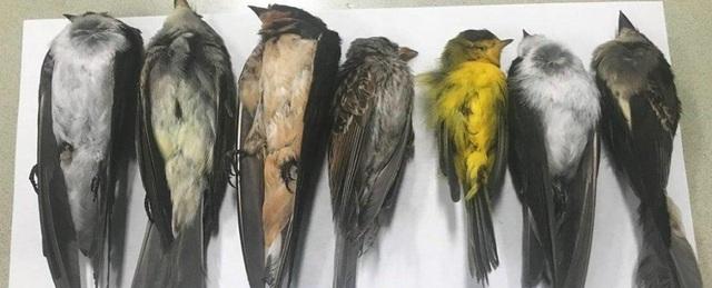 Hàng triệu con chim đột ngột chết bí ẩn ở Mỹ - 1