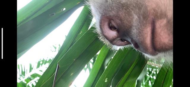 """Khỉ """"thó trộm"""" điện thoại rồi chụp ảnh tự sướng - 1"""