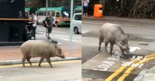 Lợn rừng thơ thẩn dạo bước bên ngoài quán cà phê ở Hong Kong - 1