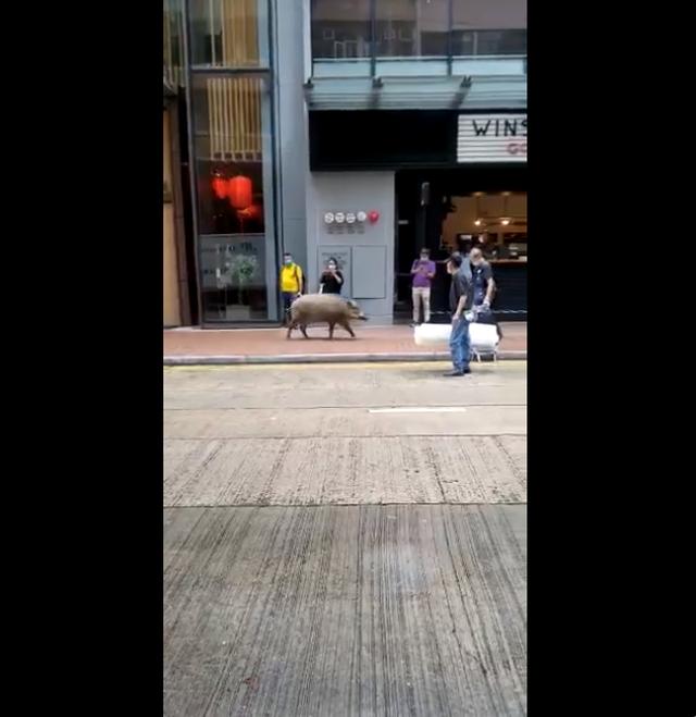 Lợn rừng thơ thẩn dạo bước bên ngoài quán cà phê ở Hong Kong - 2