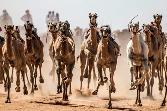 """Đường đua các """"chiến binh lưng gù"""" tại Sinai sôi động trở lại - 3"""