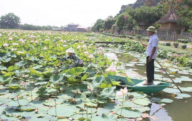 Trồng sen Nhật, thả cá và làm du lịch ở ruộng lúa, nông dân kiếm bộn tiền - 2
