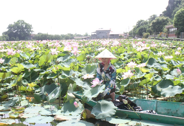 Trồng sen Nhật, thả cá và làm du lịch ở ruộng lúa, nông dân kiếm bộn tiền - 4