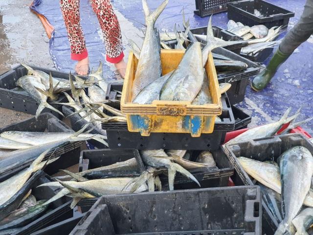 Chạy bão ngư dân vẫn trúng mẻ cá dũa thu hàng chục triệu đồng - 6