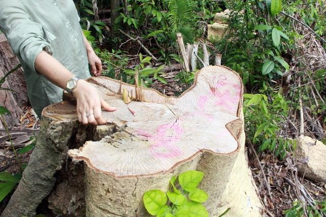 Thủ tướng yêu cầu kiểm tra, xử lý nạn chảy máu rừng già ở Phú Yên - 7