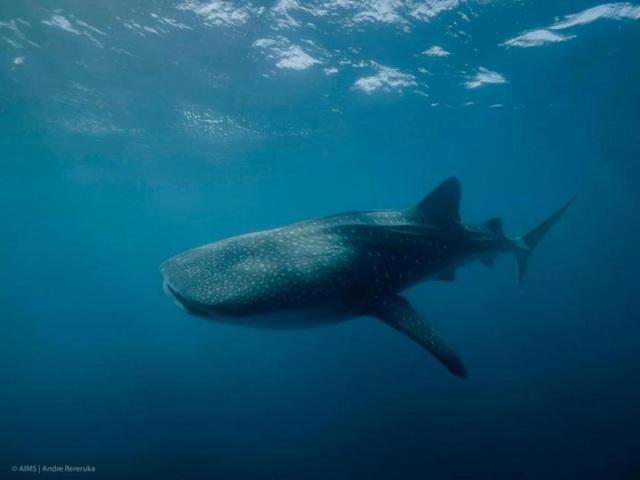 Loài cá nào lớn nhất đại dương? - 1