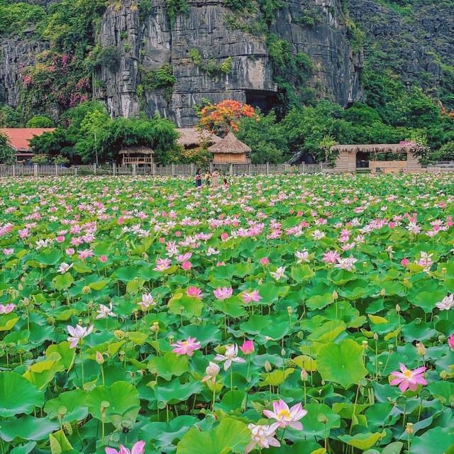 Trồng sen Nhật, thả cá và làm du lịch ở ruộng lúa, nông dân kiếm bộn tiền - 1