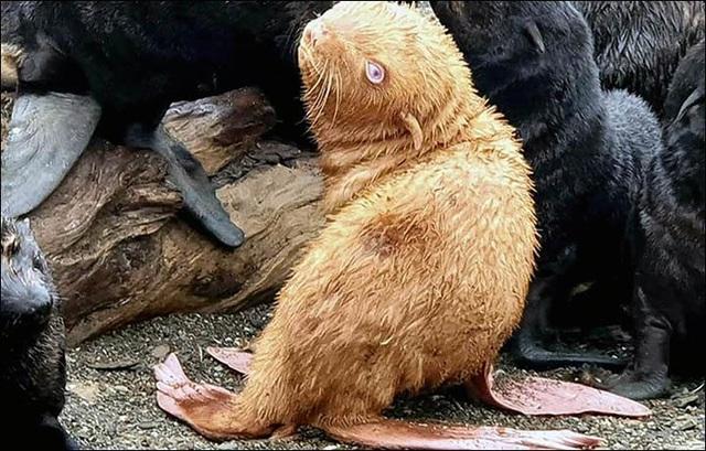 Phát hiện hải cẩu mắt xanh, lông vàng cực hiếm - 1