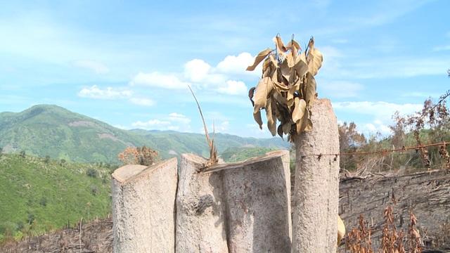 Thủ tướng yêu cầu kiểm tra, xử lý nạn chảy máu rừng già ở Phú Yên - 9