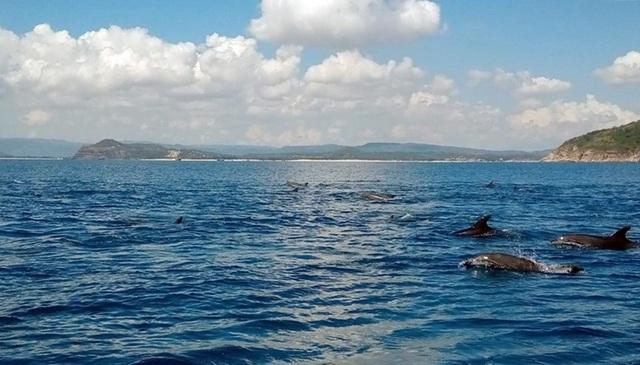 Đàn cá heo hàng trăm con bơi tung tăng trên vùng biển Phú Yên - 1