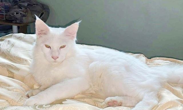 Treo thưởng hơn 3.000 USD tìm mèo hiếm bị thất lạc