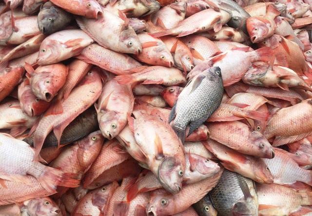 Dân điêu đứng vì hàng chục tấn cá chết trắng sau những trận mưa lớn - 2