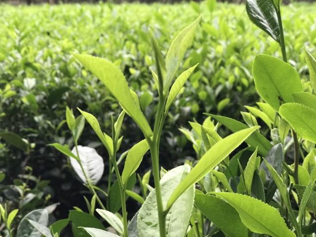 Cận Trung thu, giới nhà giàu Việt chi 5 triệu đồng mua 1 cân trà đinh - 1