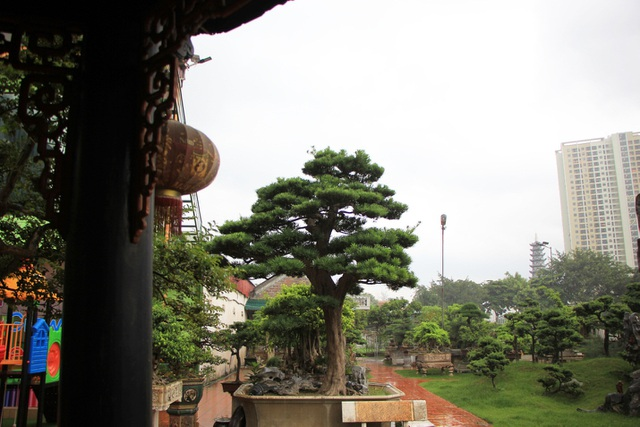 Tay chơi Hà Nội bán nhà trên phố để sở hữu cây tùng hơn 300 năm tuổi - 3