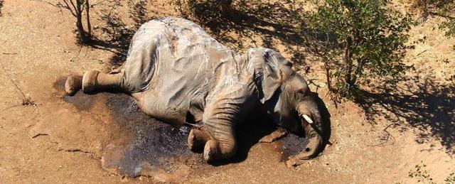 Bí ẩn voi chết hàng loạt ở Botswana đã được giải đáp - 1