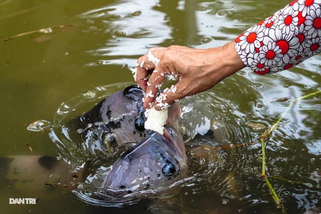 Về Cồn Sơn xem cá lóc… bú bình, ăn cơm phải… đút - 10