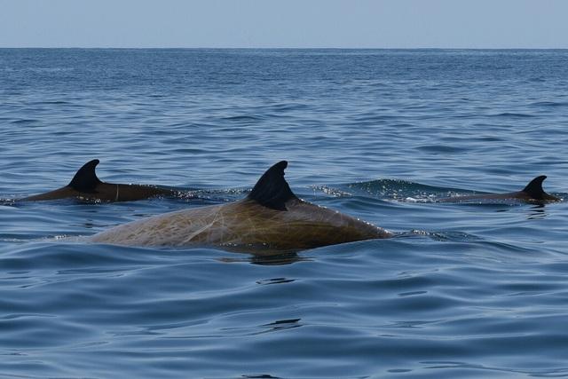 Cá voi mõm khoằm ghi kỷ lục lặn liên tục 3 giờ 42 phút - 1