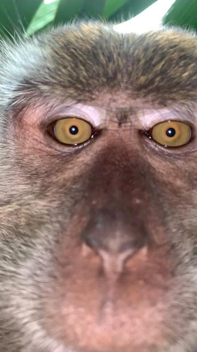 Khó tin chú khỉ ăn cắp iPhone, mang ra giữa rừng chụp selfie, quay phim - 2