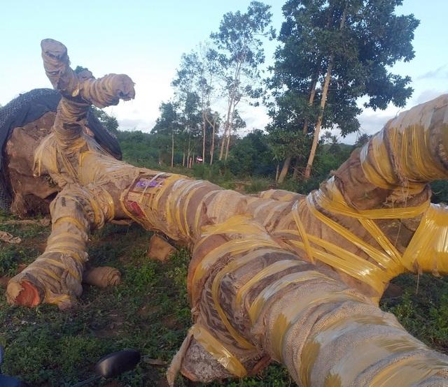 Bị phát hiện, đối tượng vận chuyển cây quái thú bỏ lại cây để tháo chạy - 3