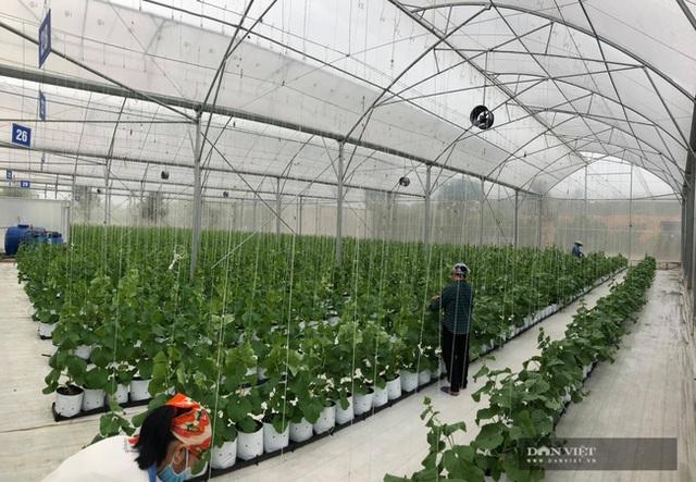 Bỏ nghề báo, chàng trai Hà Nội về quê trồng dưa lưới, mỗi năm thu hơn 2,1 tỷ đồng - 1