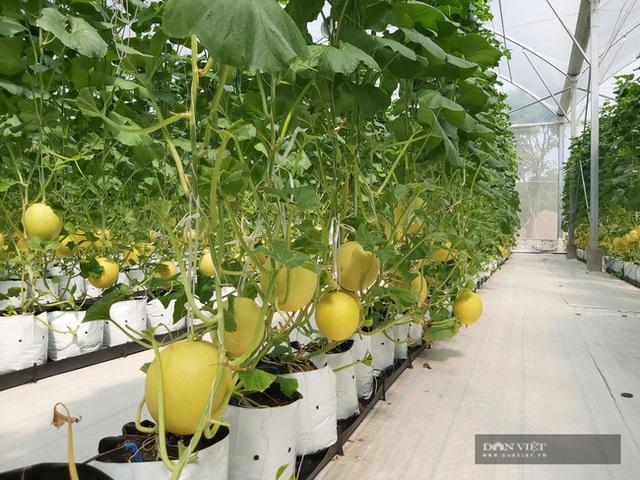 Bỏ nghề báo, chàng trai Hà Nội về quê trồng dưa lưới, mỗi năm thu hơn 2,1 tỷ đồng - 9
